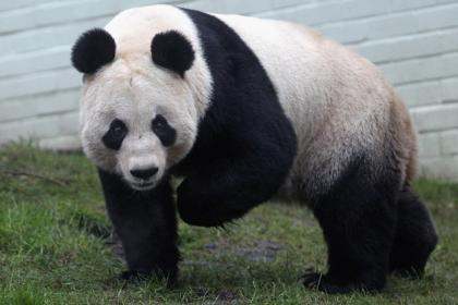 it s not positive edinburgh zoo panda fails to mate naturally and