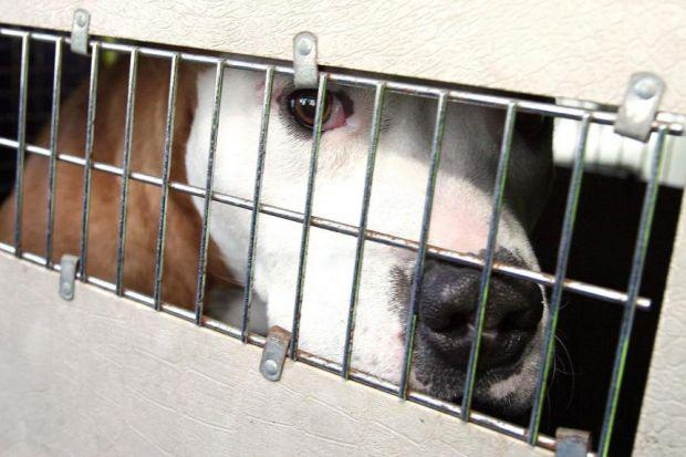 Alert on pet dogs used for fighting