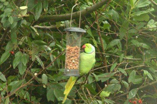 The plucky parrot was captured getting stuck into peanuts in David Ramsay's back garden