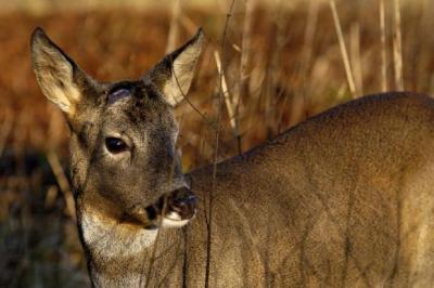 Animal charity receives reports of illegal deer snaring