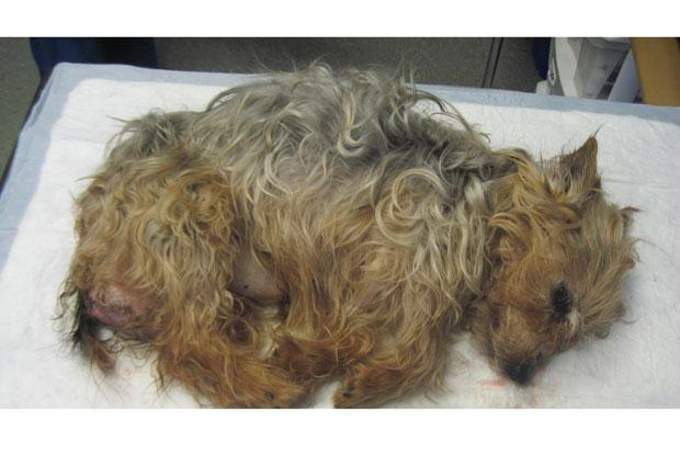 Emaciated Yorkie suffering from tumour found in Toryglen