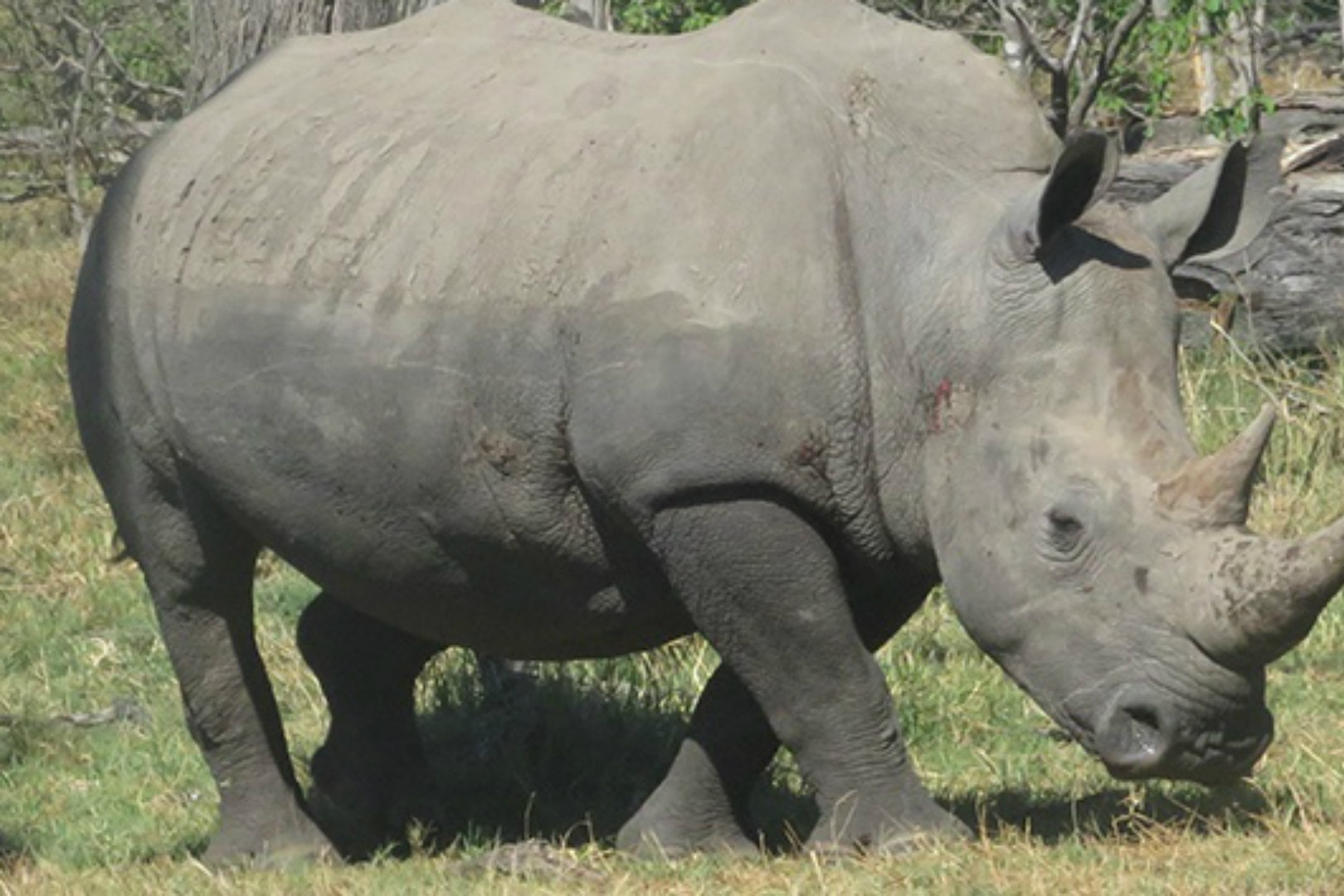 A Precious Ramotswe candidate which could win the public vote to name a white rhino (Rhino Conservation Botswana)