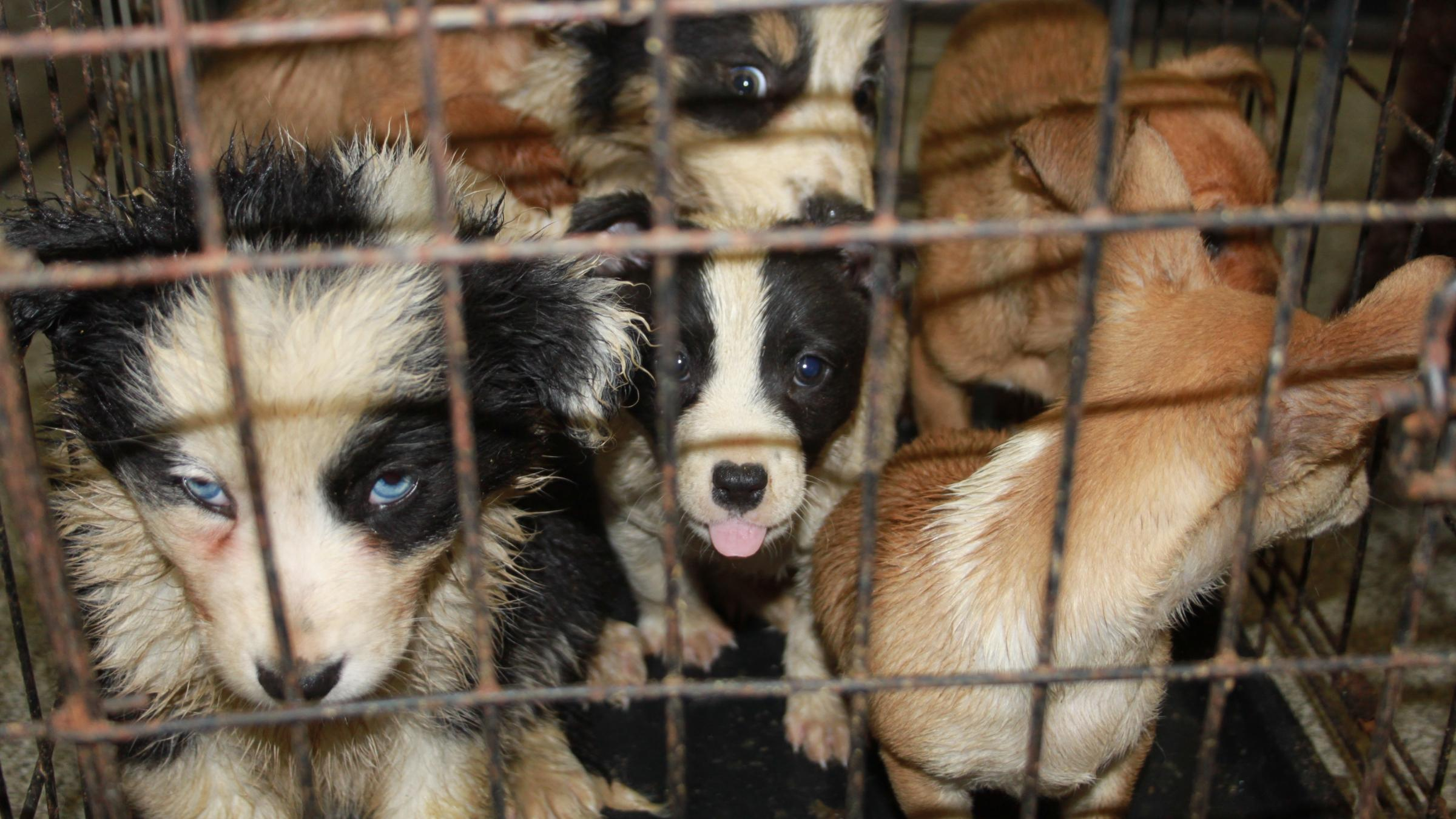 Dog disgrace: 27 smuggled puppies seized at Scots port from Ireland
