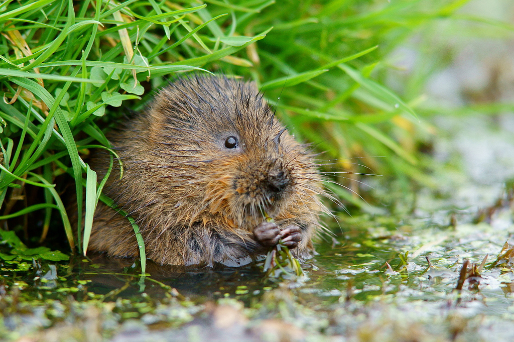 Water voles are being trapped and relocated so green infrastructure works can take place in the East End