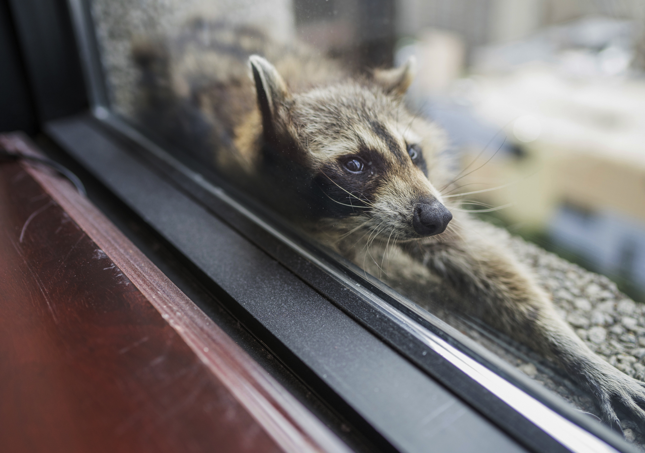 Internet falls in love with stranded raccoon attempting to scale building