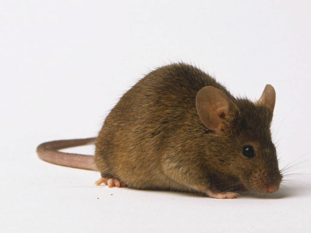 Mice were found in the Desi Curry Palace in Govanhill