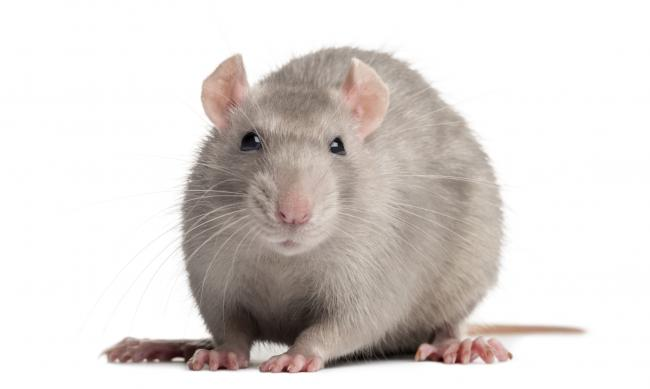 Pest controllers deal with 17 rats calls per day in Glasgow