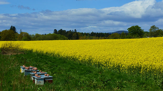 Reader Terry McGeary took this colourful picture of an oilseed rape field near Tullibardine, in Perthshire, for today's image