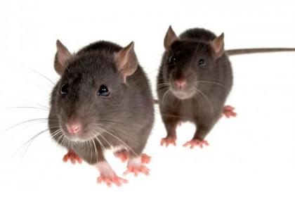 An infestation of mice has forced the company's closure
